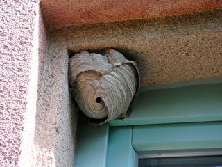 Wespen überleben nur eine Saison  Sie bauen ihre Nester besonders gern in hohlen Bäumen und an geschützten Hauswänden, Dauergäste werden die Wespen aber nicht, im Herbst sterben sie nämlich, und der Wespenbau wird dann auch nicht mehr besiedelt. Geht also aufgrund seiner Positionierung keine unmittelbare Gefahr von einem Wespennest aus, sollten Sie einfach den Sommer abwarten und dann das leere Nest entfernen. Sobald dieses leer ist, können Sie das nämlich selbst machen.