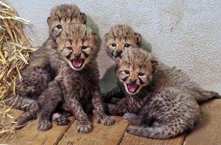Vierfacher Nachwuchs bei den Geparden im Zoo Salzburg