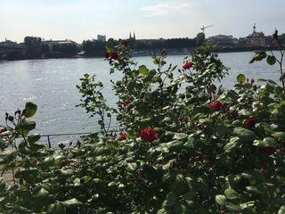 ... und die Rosen blühen überall gleich; blühende Beete entlang der Rheinpromenade; meiner einstigen Heimat. PS: Dankesgrüße an meine Schwester für die blühenden Rosen am Rheinufer in Bonn ...