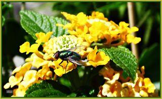 Die Goldfliege gehört zur Familie der Schmeißfliegen und wird deshalb auch Gold-grüne Schmeißfliege genannt. Es gibt verschiedene Arten, wobei hier insbesondere die Lucilia sericata genauer beschrieben wird. Sie zeichnet sich durch eine grünlich-goldene Färbung aus, die stark metallisch glänzt. Die Fliege wird 7 bis 12mm groß. Ihr Körper ist mit Haaren besetzt.
