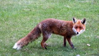 Die Fuchspopulation wurde durch die grassierende Staupe im nördlichen Waldviertel deutlich dezimiert.