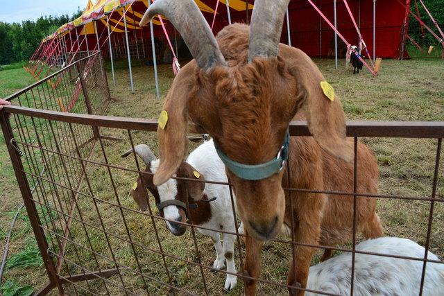 Die Ziegen dürfen (und wollen) auch gestreichelt werden.
