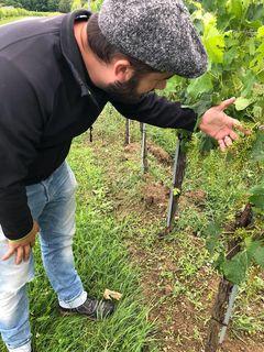 Winzer Markus Faulhammer begutachtet den Schaden im Weingarten.