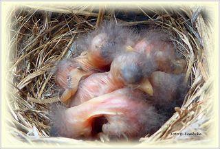 Als die Vogelmama kurz weg flog, stieg ich schnell auf einen Sessel und machte dieses Foto der Babys.