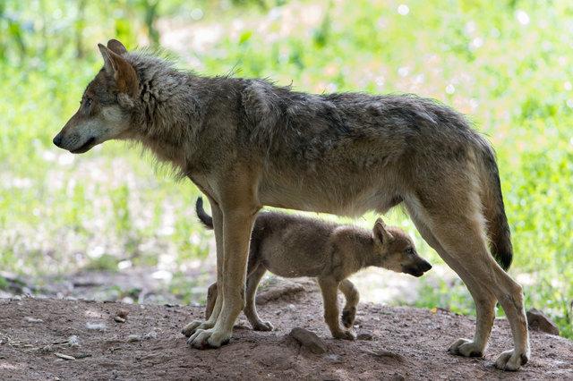 """Ein Österreichzentrum soll in Zukunft das """"Problem Wolf"""" managen."""