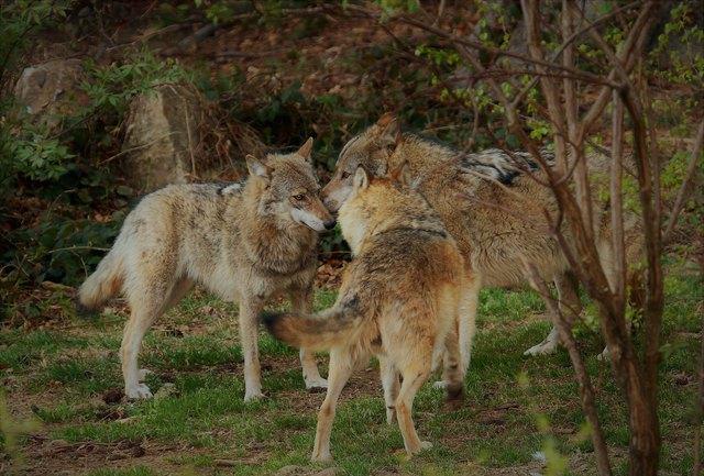 Wölfe richten durch das Reißen von Nutztieren vereinzelt Schäden an.