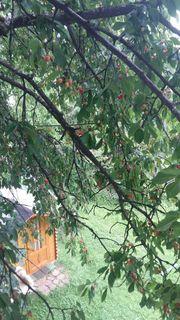 Nun ist es wieder soweit; die Kirschen in meinem Garten leuchten verführerisch rot ...