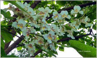 Die Blüten und der Duft sind wunderbar