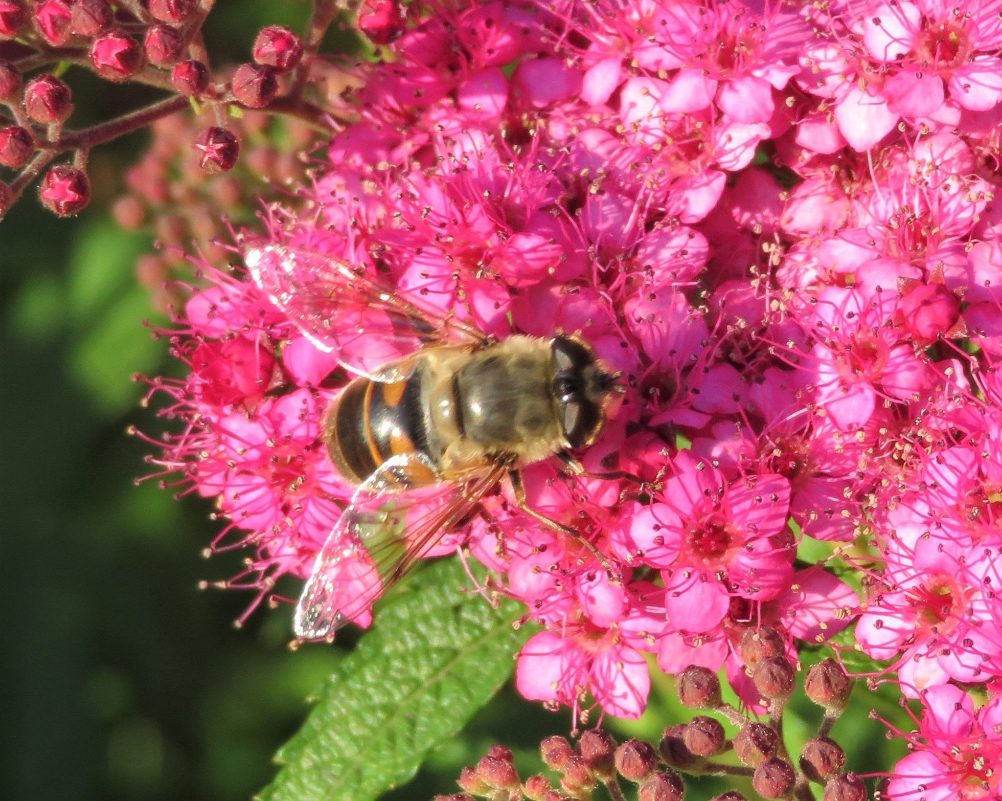 Wie Groß Ist Eine Biene