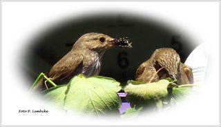 Heute sah ich zum ersten Mal einen zweiten erwachsenen Vogel beim Nest. Vermutlich der Papa. Er fütterte die Vogelmutter, die dann etwas an die Babys abgab (sah zumindest aus der Entfernung so aus)