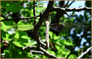 doch eine Libelle ist zum Pflücken bereits Reif.