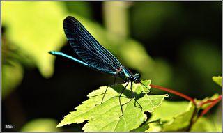 Merkmale: Die Männchen der Blauflügel-Prachtlibelle haben metallic-blaue Flügel, die in der Sonne aber auch metallic-grün schimmern können. Im Gegensatz zur Gebänderten Prachtlibelle, sind die Flügel bis zum Flügelansatz blau. Bei jungen Männchen sind die dunkel und halb durchsichtig. Die Weibchen sind bräunlich im Vergleich zu den eher grünlichen Weibchen der Gebänderten Prachtlibelle.