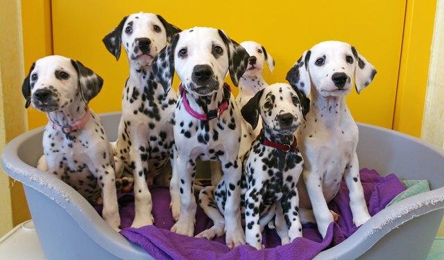 Diese Dalmatiner wurden heuer gerettet. Hunde aus Massentierhaltung haben Parasiten & Nierenschäden durch Unterernährung.
