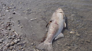 Das Wasser im Zicksee ist an vielen Stellen schon sehr seicht und leider können sich manche Fische nicht mehr selbst retten.