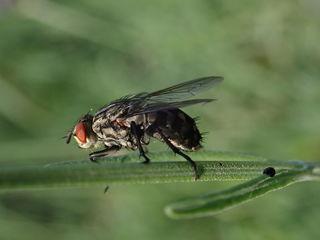 10.06.2018 Nahaufnahme einer Fliege https://de.wikipedia.org/wiki/Fliegen