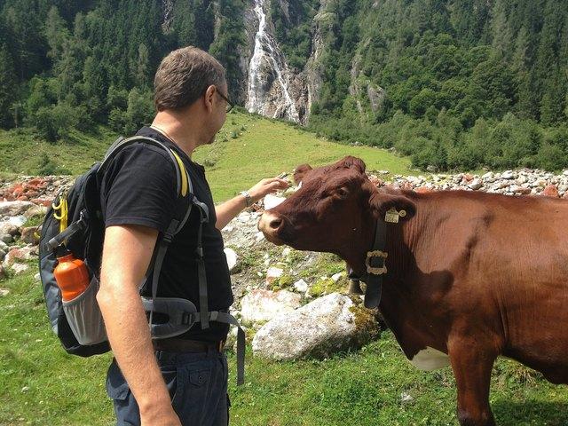 Dieses Archiv-Foto entstand im Habachtal, doch nicht immer verlaufen  Begegnungen zwischen Kühen und Menschen so friedlich.