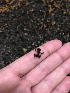 Einer der kleinen Erdkröten aus dem Neunkirchner Stadtpark.