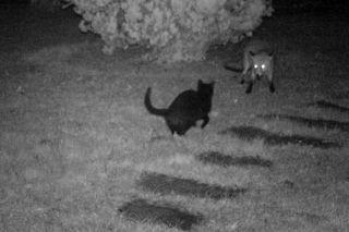 Nächtliche Begegnung im Garten: Rotfuchs trifft auf Katze.