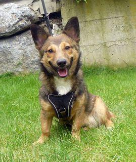 Hund Sammy: Der kleine Mischlingsrüde Sammy ist erst 10 Monate alt und mit Kindern aufgewachsen. Er musste ins Tierheim, da noch ein Baby erwartet wurde und dann keine Zeit mehr für Sammy da ist. Er ist anfangs eher schüchtern, taut dann aber gleich auf. Er wünscht sich ein liebevolles, ruhiges Zuhause.