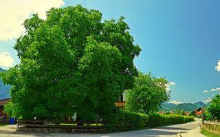 ... findet sich in der Nähe vieler Bauernhöfe, auf Dorfplätzen, in Gastgärten, auch neben Rastplätzen und  bereichert unsere Landschaft. Wenn er genügend Platz hat, wird er bis zu 30 Meter hoch und kann ein Alter von 600 Jahren erreichen. Diesen wunderbaren Baum, habe ich in Ebbs gesehen!