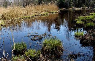 ...unser heutiges, typisches Flachmoor; ein besonderer Lebensraum der Tier- und Pflanzenwelt.  (Fotos: Pixabay)