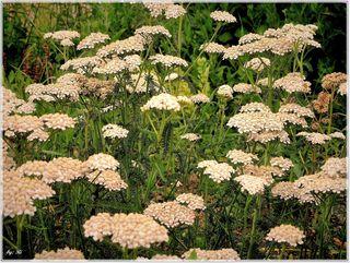 Liebe ist eine Blume, deren Samen der Wind verweht und der blüht, wo er hinfällt. Honoré de Balzac