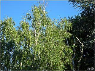 Wie mag in einem rechten Sturm ein Baum zum Gefühl seiner selbst kommen! Wie wunderbar ist eine Birke im Sturm! Wie göttlich graziös! Wie unsagbar malerisch! Christian Morgenstern (1871 - 1914) - Abendstimmung von meiner Terrasse zum Nachbarn und den uralten Bäumen hinüber