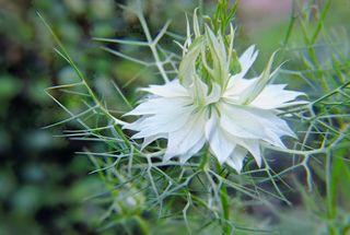 auch Jungfer im Grünen wird der Garten Schwarzkümmel genannt. Die Blüte ist mit einem Kranz haariger Hochblätter umgeben.Aufgenommen am 08.07. im Garten
