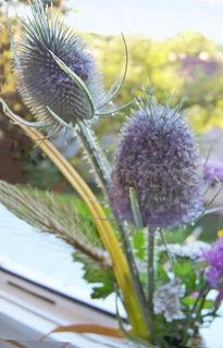 Die Blüten der Wilden Karde entfalten sich aus der Mitte des Blütenstandes, links gut zu sehen.