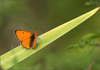 Der Dukatenfeuerfalter zählt zur Familie der Bläulinge und fliegt von Juni bis September. Die Raupen leben auf Ampferarten. Die weibchen unterscheiden sich dadurch, dass ihre leuchtendes orange durch etliche dunkle Flecken bedeckt ist, die die Männchen fehlen.