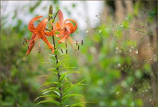 Man findet sie noch, voll erblühte herrliche Tigerlilien