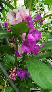 Rosa und Pink leider bricht der Wind die großen Pflanzen ab.