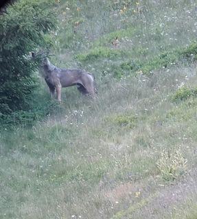 Zwei wolfsartige Tiere haben es sich im Urgtal bequem gemacht. Es wird derzeit abgeklärt, ob es sich um Wölfe oder Hunde handelt.