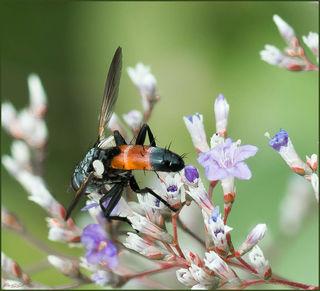 Sehr farbintensiv ist das Hinterteil dieses Insekts, leider gibt es einiges ähnliches, sodass mir die Bestimmung nicht möglich war.