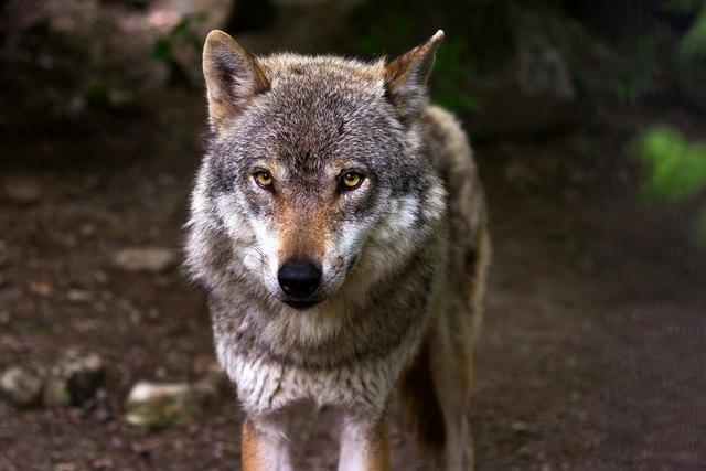 """""""Sämtliche Zwischenfälle der letzten Monate haben nichts mit Wölfen aus Allensteig zu tun"""", so Gottfried Waldhäusl."""