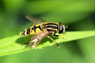 Macro image of a Hoverfly near Reintaler lake. Foto by Parveen Sarkari