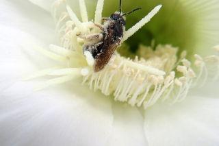 Die kleine Biene/Wespe kriegt gar nicht genug von den Pollen der Kaktusblüte