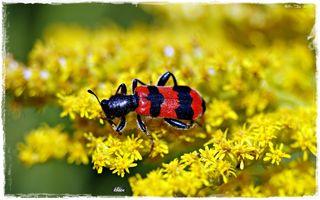Der Gemeine Bienenkäfer ist ein Käfer aus der Familie der Buntkäfer. Alternative Trivialnamen sind Immenkäfer, Immenwolf oder Bienenwolf.