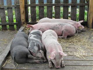 """Die Almschweine fühlen sich im Streichelzoo """"sauwohl""""."""