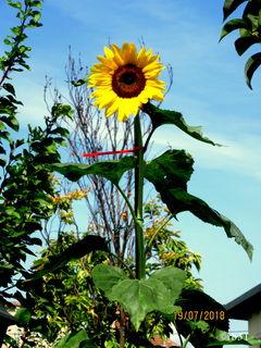 Die Sonnenblume Nr.: 1 voll erblüht. Ganz hoch beim Marillenbaum. LG Renate