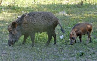 Bache mit dem Nachwuchs. Ein weibliches Wildschwein  wird bis zu 150 Kilo schwer,  die Jungtiere werden bis zum 12. Lebensmonat Frischling genannt. Sind Allesfresser, daher sehr anpassungsfähig beim Nahrungsangebot, Mäuse, Schnecken, Würmer, Engerlinge, Pflanzen und Früchte, besonders von Eichen und Buchen. Sie leben in weibliche Gruppen mit den Jungtieren des letzten Nachwuchs und auch vom Vorjahr zusammen. Aufgenommen im '' Wildtierpark Cumberland'' Grünau/Almtal