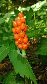 Fruchtstand des Aronstabes
