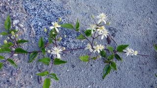 Weiße Waldrebe (Clematis)