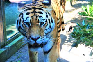 Sibirischer Tiger in Tierpark, Parco Zoo Punta Verde, Lignano Sabbiadoro, Italien