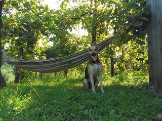 Rocky im Urlaubsfeeling vor der Hängematte im Weingarten.