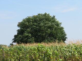 08.08.2018 Baum (Götterbaum ?) im Wind - am Weg zu den Zitzmannsdorfer Wiesen
