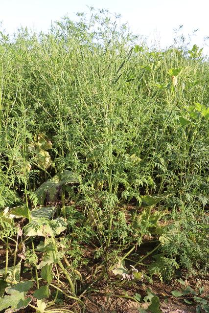 Bekämpfungsmaßnahmen gegen Ragweed fruchten bis dato nicht