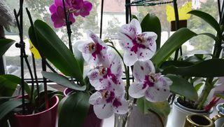 Diese Orchidee hat zwei Triebe der eine ist abgebrochen durch das Gewicht der Blüten. Jetzt hat der Nachbartrieb Platz für die kommenden Blüten. Freue mich sehr das die Neuen Blüten kommen.