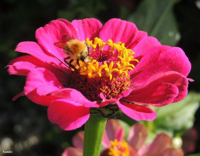 Biene auf Zinie