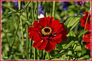 Zinnien (Zinnia) gehören zur Familie der Korbblütler oder Asterngewächse. Die verschiedenen Zinnienarten stammen aus den südlichen USA und Mittelamerika, wo sie in Halbwüsten und steinigen Steppen wachsen. Es handelt sich bei den rund 20 verschiedenen Arten um mehrjährige Stauden oder Halbsträucher. Da sie jedoch alle nicht frosthart sind, werden sie bei uns vor allem als einjährige Sommerblumen kultiviert.